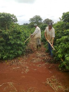 Workers continue to clear the paths for harvest that begins the end of May.